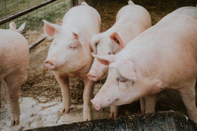 Drei Schweine auf Stroh